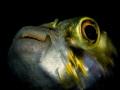 puffer fish portrait
