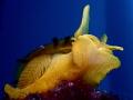Tylodina perversa Yellow in Blue by Korumar Bay