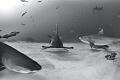 'When the Stars and the Sharks Align' - A hammerhead, tiger shark, lemon sharks, and reef sharks at Tiger Beach, Bahamas