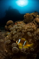 Clown fish under Satil wreck