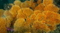 Yellow sea fan