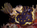 Hypselodoris picta It`s resting peace at Korumar Bay.