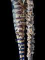 On the Wire  Sawblade Shrimp - Tozeuma armatum  Chalolum, Thailand