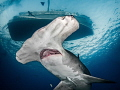 'Kate and the Hammerhead' - A great hammerhead shark glides under the M/V Kate at Tiger Beach, Bahamas