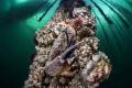Eriphia verrucosa under oyster farm (Thau lagoon)