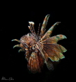 Lion fish may be the new Kings of the Caribbean, but in the Coral Triangle they are just another shy fish.