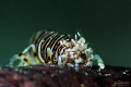Striped bumblebee shrimp