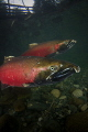 Two male Coho Salmon make their way upstream for one of the last spawns of the season