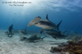 Everyones invited. Little Bahamas Bank is hosting some of the best shark action in a long time. Great Hammerheads, Tiger sharks, Lemon Sharks and reefies..