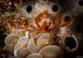 Orangutan crab.. always on Bubble coral.