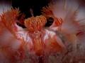 Hermodice carunculata Queen Fire Worm