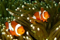 Duo Clown fish