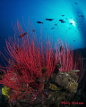 Red whip coral lending  a strong contrast to the blue water column has always been a favorite.