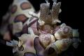 harlequin shrimp   super macro