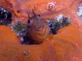 Parablennius marmoreus BUBBLE COUNTER  Seaweed blenny