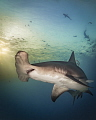 Portrait of a Hammerhead at Sunset    A great hammerhead shark at dusk at Tiger Beach  Bahamas