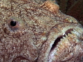 Uranoscopus scaber