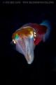 Hawaiian Squid