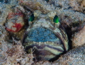 Jawfish Incubating eggs
