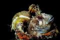 Parablennius gattorugine with Hypselodoris elegans House holders.I took this photo with my first Sea and sea motor marine II EX camera.
