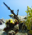 Ornate ghost pipefish at seahorse bay in Lombok