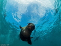 Curious Seal Pup - Hout Bay - South Africa
