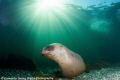 The clear cold waters just off Vancouver Island hold many a wonder and playground for all divers. This dive the Sun shone above while the Sea Lions frolicked below with us!