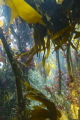 Kelp forest at Wild Derrynane, Skellig Coast, Wild Atlantic Way, Ireland. Wha a wonderful way it is to follow hidden underwater pathways beneath the canopy of Kelp fronds.
