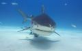 approaching Tiger shark