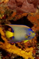 A beautiful Queen Angelfish in the waters of Cozumel,Mexico