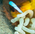 Anemone fish protecting its eggs