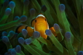 Clownfish with green anemone.