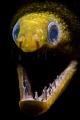 Snooted moray eel - no crop