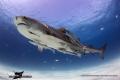 Tiger Shark from Tiger Beach, Bahamas