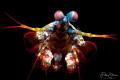 Portrait of a Mantis shrimp, Lembeh strait.