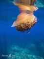 Meduse oeuf au plat