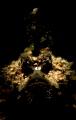 Tiny juvenile Inimicus didactylus, A.K.A. Grump