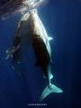 WHALE SHARK IN GORONTALO