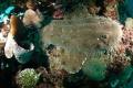 Wobbegong Wedged in Coral