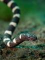 Banded Sea Snake Juvenile