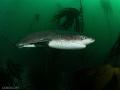 Broadnose Sevengill Shark - Pyramid - South Africa