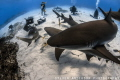 As our daily adventure begins the sharks begin to take center stage and ready to perform for our cameras! Tiger Beach - Bahamas