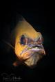 Cardinal fish with eggs-Anilao
