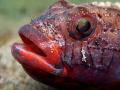 Gobius cruentatus RED-MOUTHED