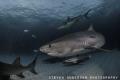 Tiger Sharks make for an exciting night dive at Tiger Beach - Bahamas
