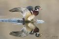 Wood Duck drake landing.