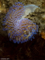 Gasflame Nudibranch hanging about upside down on Hakskeen Reef
