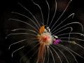 Firework (Amphipods) @Tulamben