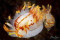 Fiery nudibranch  Okenia amoenula