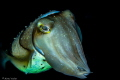 On a live aboard journey from Flores to Bali  this friendly Cuttlefish came so close to me. It almost felt like he was saying   hi... nice to meet you    Nikon D7000 / ISO 400 / 60mm / f 16 /  1/160 sec